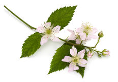Blossom blackberry on white Royalty Free Stock Photos