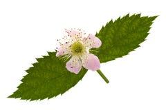 Blossom blackberry on white Stock Photo