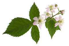 Blossom blackberry on white Royalty Free Stock Images