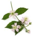 Blossom blackberry on white Stock Images
