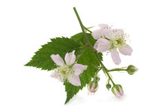 Blossom blackberry on white Royalty Free Stock Photography