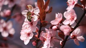 Blossom, Bloom, Bee, Insect, Animal Stock Photo