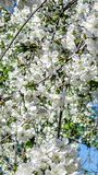 Blossom bloom of cherry at spring. White sakura flowers on sky background. Vertical mobile wallpaper Royalty Free Stock Images