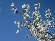 Blossom bloom of cherry at spring. White sakura flowers on sky background Royalty Free Stock Photography