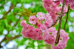 Blossom Bloom Tree Pink Flowers Stock Photo stock image