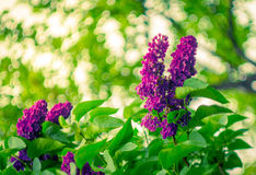 Blossom blooming branches lilac. With bokeh trees on background in springtime Royalty Free Stock Photos