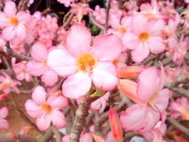 Blossom blooming fully. Flower fascinatingly so cute the tree pretty season amazing, the beauty of nature Royalty Free Stock Images