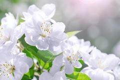 Blossom blooming on tree in springtime. Apple tree flowers bloom. Ing. Blossoming apple tree flowers with green leaves. Spring tree blossom flowers with green royalty free stock photos
