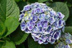 Hydrangea macrophylla flower. Blossom of Blue Hydrangea macrophylla flower Royalty Free Stock Photography