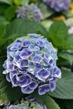 Hydrangea macrophylla flower. Blossom of Blue Hydrangea macrophylla flower Stock Photography