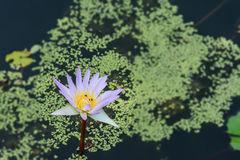 Blossom blue lotus flower on the water. With green leaf Royalty Free Stock Image
