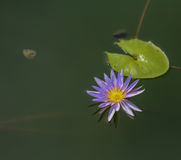 Blossom blue lotus flower on the water. With green leaf Stock Image