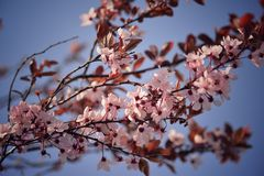 Blossom and blue sky Royalty Free Stock Photo