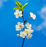 Blossom with blue sky Stock Photos