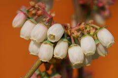 Blossom of blueberry, Vaccinium myrtillus Stock Images
