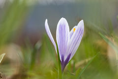 Blossom blueish crocus flower Royalty Free Stock Photo