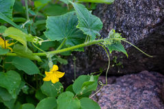 Blossom of Boston pickling cucumber growing Royalty Free Stock Photos