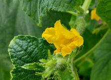 Blossom of Boston pickling cucumber Royalty Free Stock Photography