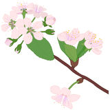 Blossom branch Stock Photos