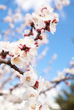 Blossom Branch. A branch full of fresh open blossoms. Apricot tree Royalty Free Stock Photo