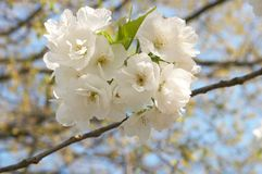 Blossom branch Stock Photo