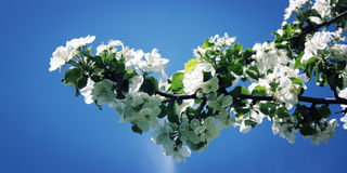 Blossom branch of apple tree on a blue background. Retro photo. Close up. Stock Photography