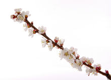Blossom branch of apricot Stock Photos