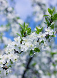 Blossom branch, beautiful spring flowers stock photos