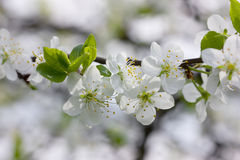 Blossom branch with beautiful spring flowers Stock Images