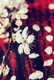 Blossom branch of cherry-tree. Over red and black background in retro filter effect. See series stock images