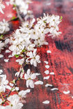 Blossom branch of cherry-tree Royalty Free Stock Photography