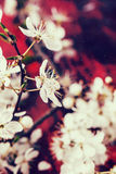 Blossom branch of cherry-tree Royalty Free Stock Images
