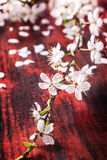 Blossom branch of cherry-tree Royalty Free Stock Photo
