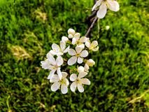 Free Blossom Branch Close-up. Spring Weather, Sunny Sky, Flowering Trees In The Village. Stock Photo - 114506140