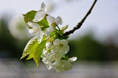 Blossom, Branch, Flower, Cherry Blossom stock photography