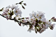 Blossom, Branch, Flower, Cherry Blossom stock photos
