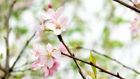 Blossom, Branch, Flower, Pink royalty free stock photography