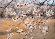 Blossom, Branch, Flower, Plant royalty free stock image