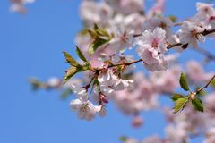 Blossom, Branch, Flower, Spring royalty free stock photography