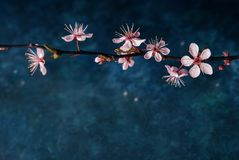Blossom branch overb blue background. Blossom branch over dark blue background/ Spring flowers/Spring Background stock photo