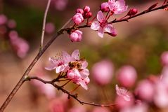 Blossom, Branch, Pink, Cherry Blossom stock photo