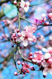 Blossom, Branch, Pink, Spring royalty free stock images