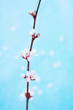 Blossom Branch. Pink and white flowers blossoming on a branch Stock Images