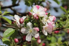 Blossom, Branch, Plant, Flowering Plant royalty free stock photography