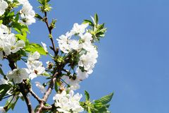 Blossom, Branch, Sky, Flower royalty free stock photography