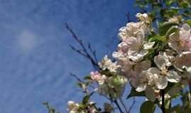 Blossom, Branch, Sky, Spring royalty free stock photography