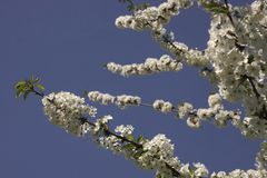 Blossom, Branch, Sky, Spring royalty free stock images