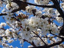 Blossom, Branch, Spring, Cherry Blossom stock image