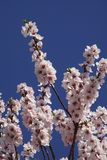 Blossom, Branch, Spring, Cherry Blossom royalty free stock photography