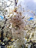 Blossom, Branch, Spring, Cherry Blossom royalty free stock image